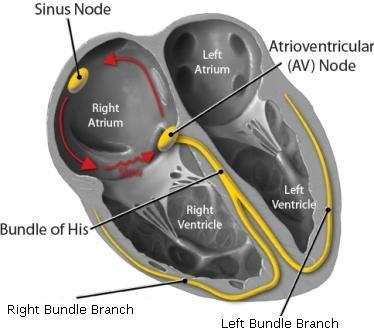 Sağ atriyumdaki tipik saat yönünün tersine reentry halkası Kaynak : lifeinthefastlane.com - ECG library